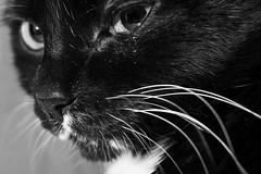 Penelope IV (Brigante ) Tags: cat blackwhite nikon penelope d800 brigante lunaphoto urbanarte micro60mm sb700