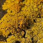 Orange Sea Lichen