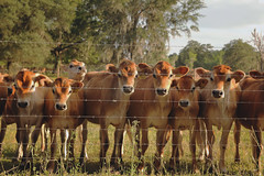 (farenough) Tags: ranch county field rural fence cow photo cattle florida outdoor farm south explore pasture fl wander alachua