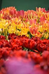 (chikache) Tags: flowers nature beautiful japan spring nikon warmth tulip bloom gifu kaizu chulip