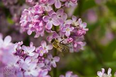 IMG_0064 (Teekanne2) Tags: pink summer plants flower tree green bush purple blossom outdoor sommer pflanzen lila bee lilac grn blume blte baum busch biene flieder drausen