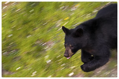 Running through the Wildflowers (jeanne.marie.) Tags: spring wildlife running wildflowers panning blackbear ashevillenc