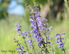 Fiori di campo (Elly212) Tags: field grass bokeh country violet erba di campo mm 50 yerba fiore viola prato trentino violeta hierba civezzano