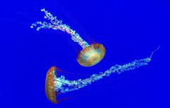 Underwater Ballet (vic.devo) Tags: blue toronto aquarium jellyfish ngc ripleys noflash olympusomdem10markii