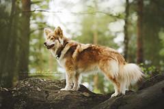 (jabberjinx) Tags: dog canon review 85mm canine finnish 85 ef doge suomenlapinkoira lapphund finnishlapphund lapinkoira canoneos7d