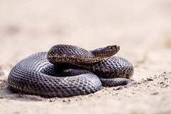 Musta kyy - Vipera berus (Timo Leppharju) Tags: snake kyy vipera kyykrme berus musta r