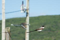 Sobre el alambrado (tincho.uy) Tags: bird pjaro pajaro pajarito ave campo country uruguay nikon d7100 cable foco enfoque focus cord wire poste