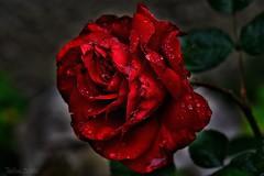 ~~Madame ROSE a oubli son parapluie...!~~ (Jolisa) Tags: flowers red macro rose fleurs rouge eau bokeh pluie gouttelettes juin2016