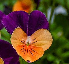 Orange/purple (Kristina Leszczak) Tags: plant flower nature beauty outside newjersey spring focus outdoor nj depthoffield shallowdepth