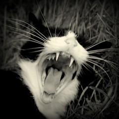 158.365.2016 (johnny the cow) Tags: blackandwhite monochrome tongue wales cat mouth photo teeth diary cymru pussy yawn aberystwyth collection killer 365 fangs growl roar catalogue ceredigion dsh 2016 aphotoaday 366 domesticshorthair llanafan