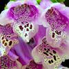 Details, Details (NTFlicker) Tags: flower detail purple sharp national okefenokee refuge foxgloves nikoncoolpix8800 windlife croppedtightfordetail