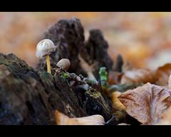 Little mushrooms (Focusje (tammostrijker.photodeck.com)) Tags: wood autumn fall leaves mushrooms leaf little small herfst bark tiny paddestoel