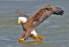 American Bald Eagle Grabbing Fish (Brian E Kushner) Tags: americanbaldeagle baldeagle bald eagle fish fishing wings talon beak king flying flight inflight haliaeetusleucocephalus conowingo dam conowingodam darlington md maryland d3x nikond3x bird birds bkushner wildlife animals birdwatcher brianekushner nikon600mmf4afsvr afsnikkor600mmf4gedvr 600mm f4 nikor