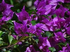 Paper Flower (ddsnet) Tags: plant flower paper sony taiwan cybershot bougainvillea   taoyuan   paperflower     flower paper hx100v 851 85