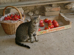 Family Cat guarding Organic Home-Grown Red Tomatoes of La Brande, Cognac Region of SW France @ 6 August 2010 (Kam Hong Leung 06) Tags: travel family summer pet sun holiday plant france flower green nature ecology beautiful beauty leaves fauna cat garden tomato insect countryside leaf flora europe natural earth wildlife mother conservation ground soil mum stamen environment leisure organic pollen botany cognac continent neighbourhood charente biodiversity stamina pollinator charentemaritime kamhongleung leungkamhong beatriceleung internationalyearofbiodiversity labrande yearofbiodiversity naturalneighbourhood internationalyearofbiodiversity2010