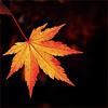 Last Leaf... (fifich@t - Off (health)) Tags: autumn fall automne leaf lr feuilledautomne nikond300 fifichat1 nikkor75300vr ©frs fificht ©frs