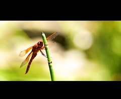 *libellula* / something shiny caught her eye (elmofoto) Tags: california orange macro reed water insect prime flying wings pond nikon legs dragonfly bokeh flight bamboo tamron 90mm f28 gettyimages clinging d300 1000v fav10 tamronspaf90mmf28dimacro11 juici tamronspaf90mmf28dimacro tamron90mm28macro borderfx ssfmlm tamronspaf90mmf28dimacro11172e272e elmofoto lorenzomontezemolo