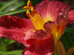 "Another in a series of ""Memories of Summer"". (tarelkaz) Tags: pink flowers summer macro garden flora daylily mittens olympuse450 mygardenschool"