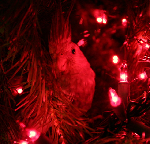 Lulu the Cockatiel in the Christmas Tree