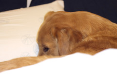 Dec 11/11 - Dreaming of Christmas (sdriegel) Tags: christmas sleeping dogs goldenretriever bed dreaming griffin