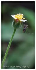 honey mosquito (sankardutta39B) Tags: macro nature flora nikon insects fona d60 topshots floraandfaunaoftheworld natureselegantshots panoramafotográfico panoramafotogrfico theoriginalgoldseal