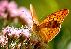 Silver-washed Fritillary (Argynnis paphia) (MentalBloc16) Tags: flowers light sunset red wild summer england italy orange white plant flower macro english grass animal closeup butterfly insect amazing wings europe european purple bright bokeh britain background wildlife stunning environment common fritillary 500d 2011 argynnispaphia silverwashedfritillary beautifulbutterflies naturebokeh blinkagain