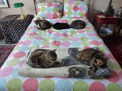 Five Kitties On a Bed (Philosopher Queen) Tags: cats zoe lucy chats bed gatos mina kitties multiple cleo kayla felineaestheticarrangement
