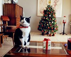 Arbolito de Navidad... (Anita Mejia) Tags: christmas cats arbol navidad handmade pino esferas chocolatita anitameja fuelyourillustration
