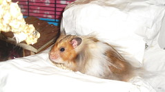 Sitting pretty. (jellybaby86) Tags: cute fluffy hamster satin rex syrian longhaired dandydust
