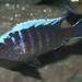 Cynotilapia aurifrons Nkhata Bay