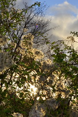 clematis in the evening (redglobe*) Tags: blue sky cloud sun nature germany evening nikon clematis sparkle mnster