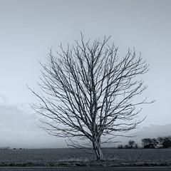 Janissary characteristics (martinfowlie) Tags: winter tree monochrome field square flat bleak fens
