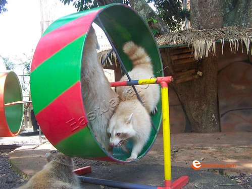 Rakoon On Wheel, Batu Secret Zoo