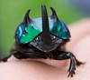 Dung Beetle/Escarabajo coprofago. Oxysternon conspicillatum (Male) (Camilo Hdo) Tags: blue green beetle escarabajo coleoptero cucarron mierdero escarabidae escarabeinae