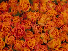 Rozen. Roses. (George Ino) Tags: roses orange nature yellow groen ngc natuur geel rozen oranje rosaceae rozenfamilie revuenon50mm14