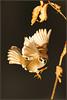 And then there was light (hvhe1) Tags: light bird nature animal backlight garden wings wildlife flight natuur sparrow mus vogel songbird treesparrow passermontanus ringmus zangvogel specanimal hvhe1 hennievanheerden