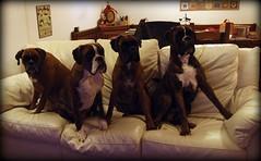 Mim, Tyson, Iris, Ian (deboh76) Tags: dog pet cane boxerdog crew bunch boxer gruppo mucchio canidi patafruttoli boxercrew