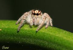 araña - Araignée (Marina-Inamar) Tags: macro challengegamewinner araña macrofotografia ojos insecto buenosaires argentina enmijardin challengegroupgame patas