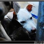 『南寮收容所』1227、母帶子3組、瑪爾、拉拉、米格魯、德國狼犬、秋田、似高山犬、米克斯、貓、20111229 thumbnail