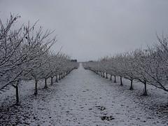 snowfall (growing hazelnuts) Tags: