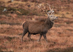 Red Deer Stag (Ally.Kemp) Tags: red wild snow highlands stag scottish glen deer sutherland hind stags hinds brora strath kildonan loth badanloch