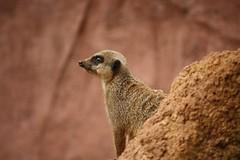 Contemplative Meerkat (Sum_of_Marc) Tags: nature animal mammal zoo meerkat wildlife chester mongoose enclosure meerkats chesterzoo