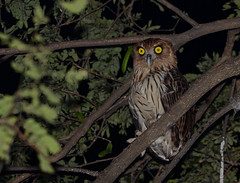 Philippine Eagle-Owl (Bubo philippensis) (Bram Demeulemeester - Birdguiding Philippines) Tags: philippines luzon philippineeagleowl bubophilippensis bramdemeulemeester birdguidingphilippines philippinesbirdingtours