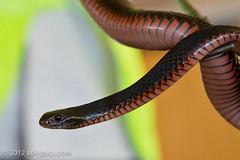 _MG_0795.JPG (vokatyphoto) Tags: animal snake redbelliedblacksnake