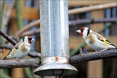 Pure Gold! (Judy's Wildlife Garden) Tags: puregold goldfinches judykennett knightonpowys