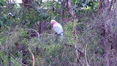 (Dawnstar Photography) Tags: tree nature bush native australia cockatoo galah gallah pinkcockatoo