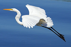 Great Egret (Ardea alba) (shelshots) Tags: greategret ardeaalba bird avian wader waterbird aigrette flight fly wings pond lakeavalon naples florida canon7d nature egrets