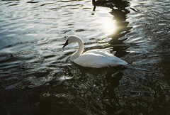Gleaming and Glowing. (Bokeh Eyes) Tags: reflection nature water animals swimming zoo swan magic louisville majestic