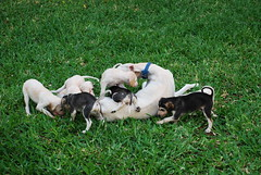wardah plus 8 (shine_on) Tags: dog rabbit dogs puppy puppies hunting hound kingdom saudi arabia hunter arabian jeddah saudiarabia hunt hounds hunters saluki البر ksa sighthounds السعودية سعودي صحراء mignas huntinghounds براري