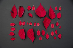 poinsettia deconstructed lll (M00k) Tags: home poinsetta deconstructed kerstroos euphorbiapulcherrima